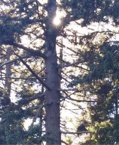 eagle sitting on evergreen branch with sunlight behind